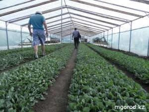 В уральских теплицах выращивают тонны огурцов MG1