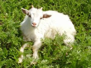 Новости Атырау - В Атырау завезут коз из Сербии all.biz