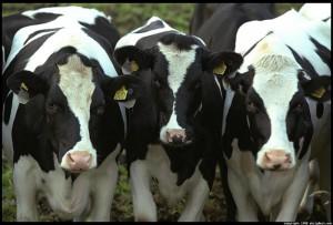 """Актобе. Дойных коров покупают по программе """"Дорожная карта бизнеса 2020"""" cows_www.livechat.su"""