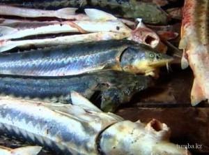 Новости Атырау - В Атырау у браконьеров изъяли полтонны ценной рыбы fish2_www.tumba.kz