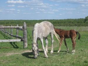 Новости Атырау - В Атырау лошадям вживляют навигаторы horse_www.speleo.marshruty.ru
