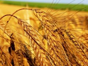 Новости Уральск - В ЗКО площадь посева зерновых увеличится на 20 тысяч га piterlady.ru