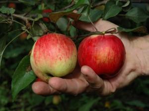 В ЗКО возрождают знаменитые яблоневые сады Фото с сайта ucoz.ru