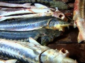 Новости Атырау - В Атырау у браконьеров изъяли 50 кг осетров fish_www.aktau-news.kz