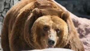 Медведь пришел на свадьбу в Азербайджане, в результате 2 человека ранены фото РИА Новости