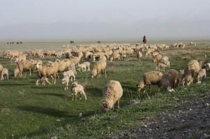 Волки напали на отару университетских овец Фото с сайта kaindy.kz
