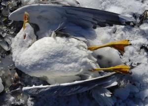 Атырау. На острове Шалыга массовая гибель чаек Иллюстративное фото с сайта www.timer.od.ua