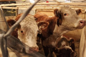 Сколько корова дает молока? cow