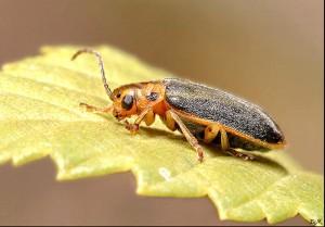 В Актобе выделили 15 млн. на борьбу с жуком-листоедом Иллюстративное фото с сайта www.zin.ru
