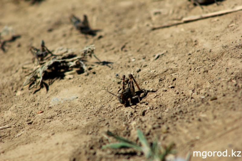 Новости Актобе - В Актюбинской области началась борьба с саранчой (ФОТОРЕПОРТАЖ) mgorod.kz 3