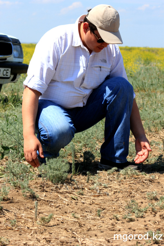 В Актюбинской области началась борьба с саранчой (ФОТОРЕПОРТАЖ) mgorod.kz 4