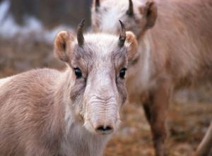 В Актюбинской области охотники на сайгу стреляли в инспекторов Фото с сайта www.zoopicture.ru