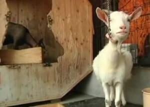 В Токио козы стали достопримечательностью одного из местных кафе Фото 24.kz