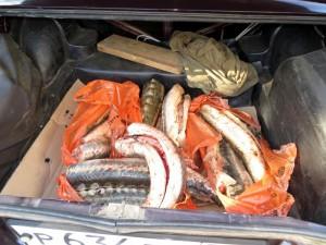В Атырау задержали автомобиль со 180 кг осетрины Иллюстративное фото с сайта www.astra-novosti.ru