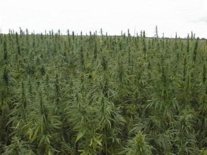 Актобе. Вблизи села Каражар выращивали 3000 кустов конопли konoplya
