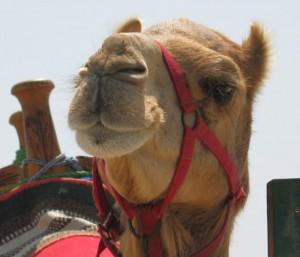 В уральском зоопарке верблюд свернул себе шею Фото с сайта ru.tsn.ua