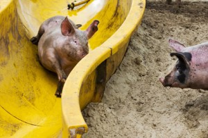 Голландский фермер открыл для своих свиней «грязепарк» Фото: Vincent Jannink / ANP / AFP