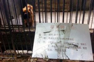 В китайском зоопарке вместо льва показывали собаку Тибетский мастиф в зоопарке китайского города Лохэ Фото: china.org.cn