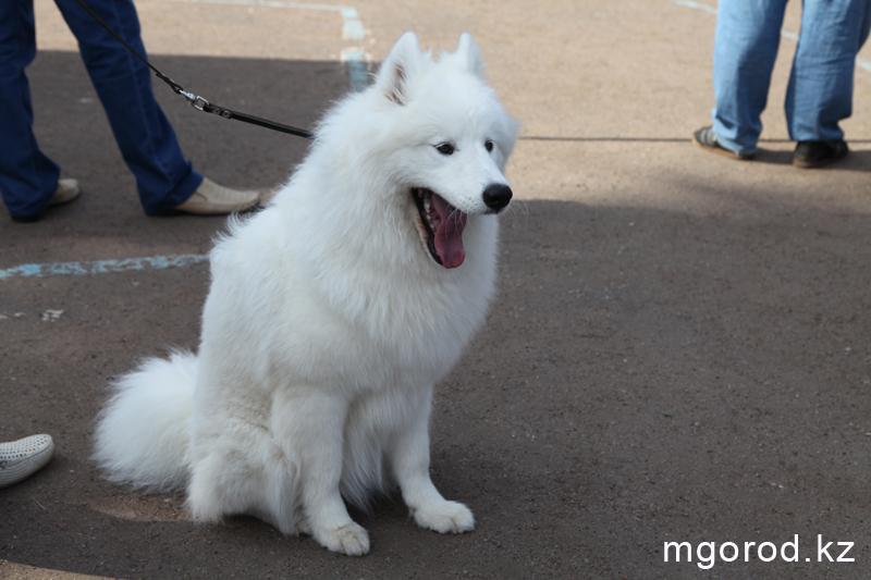 Уральск. 133 участника прибыли на выставку собак собака 11