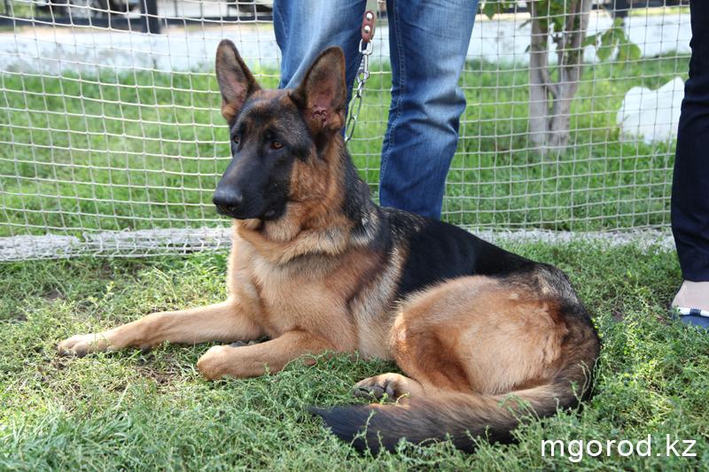 Уральск. 133 участника прибыли на выставку собак собака 13