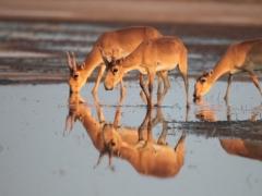 Новости - В центральном Казахстане нашли около трех тысяч мертвых сайгаков фото с сайта bigpictures.ru