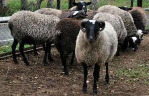 Четверо актюбинцев похитили с пастбища 59 овец Иллюстративное фото с сайта unise.ru