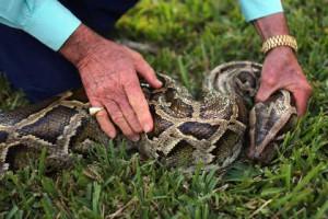 В доме жителя Нью-Йорка обнаружены 850 змей Бирманский (темный тигровый) питон Фото: Joe Raedle / AFP
