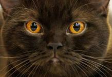 В Уральске пройдет выставка кошек i
