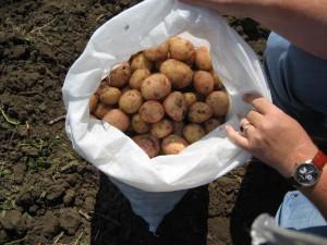 В Атырау овощи для стабфонда закупают с полей Иллюстративное фото с сайта fruitinfo.ru