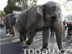 Впервые на главную улицу в Алматы вышли слоны и пони фото Алмаза Толеке