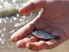 В Капчагайское водохранилище выпустили 180 тысяч штук молоди ценных видов рыбы фото с сайта inform.kz