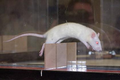 Новости - В Казани пройдут крысиные бега с препятствиями Фото: Nati Harnik / AP