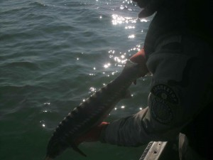 В Атырау задержали браконьера с 50 кг красной рыбы Иллюстративное фото с сайта khersonline.net