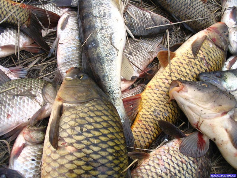 За вылов 80 килограммов сазана осудили атырауских рыбаков