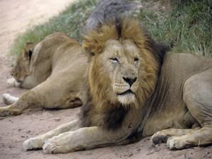В зоопарке Дании вслед за жирафом Мариусом убили семью львов Фото с сайта www.sovross.ru