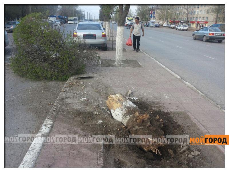 Новости Уральск - В Уральске автомобиль вырвал с корнем дерево avaria_derevo5