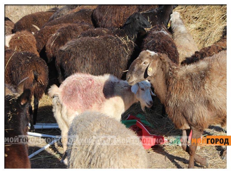 Волчица из мести задрала овец и собак в селе Актюбинской области