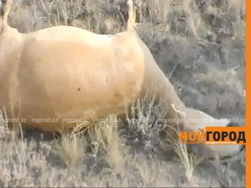 Новости Актобе - Шесть фактов охоты на сайгаков зарегистрировано в Актюбинской области