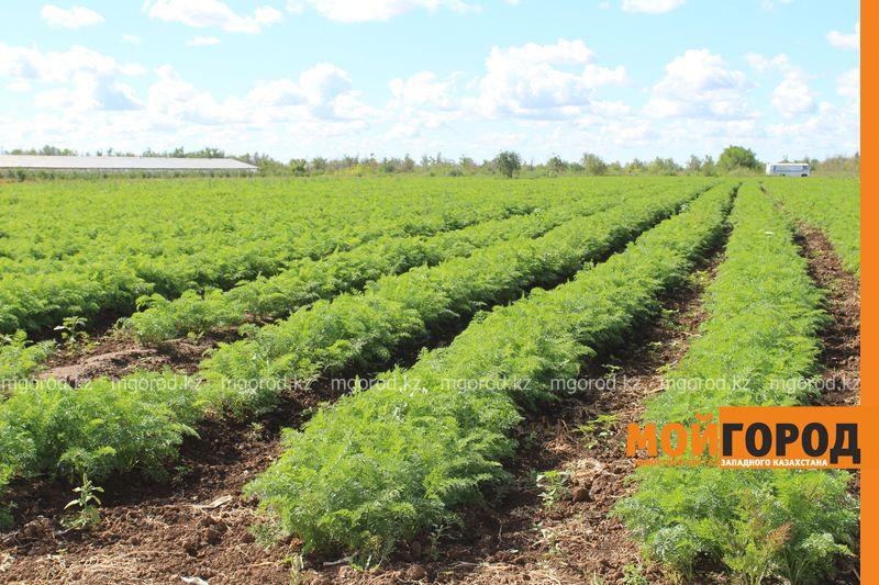 Новости Уральск - Как вырастить огурец в ноябре и почему сокращают картофельные поля klad (15)