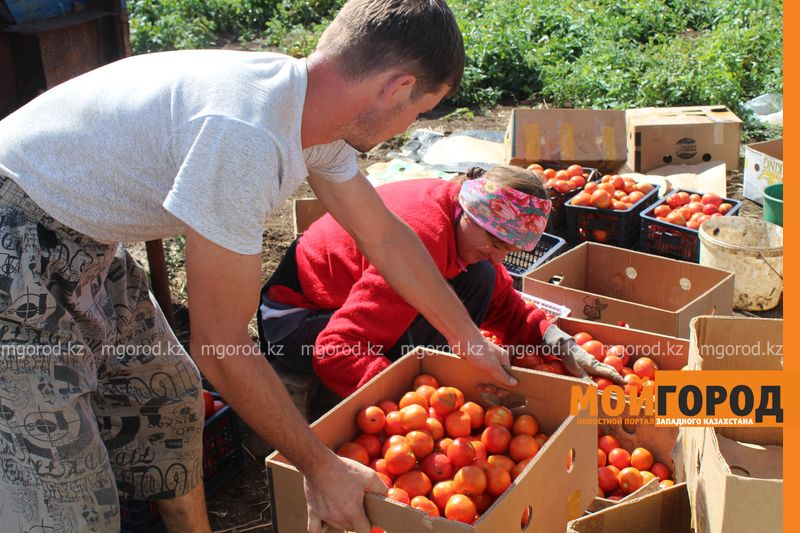 Новости Уральск - Как вырастить огурец в ноябре и почему сокращают картофельные поля klad (16)