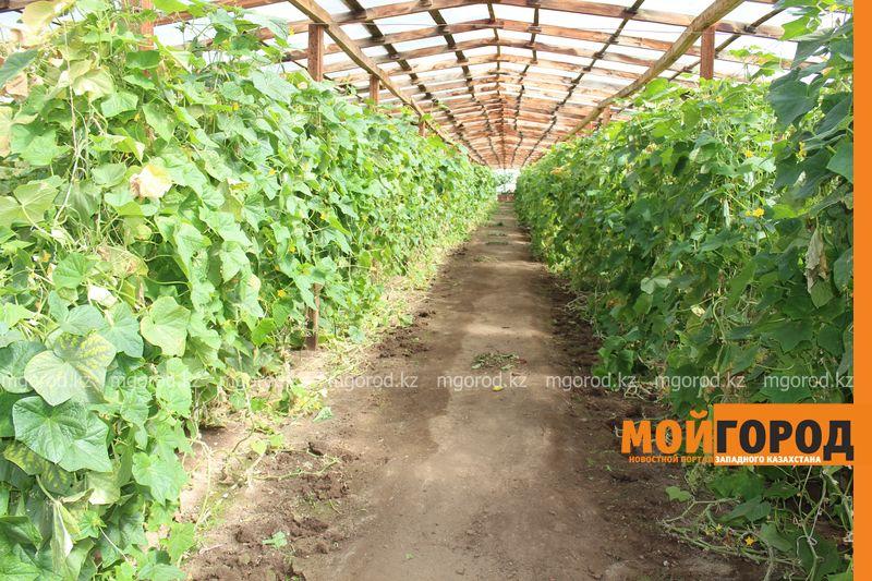 Новости Уральск - Как вырастить огурец в ноябре и почему сокращают картофельные поля klad (19)