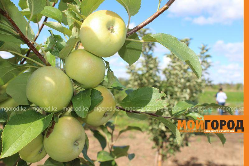 Новости Уральск - Как вырастить огурец в ноябре и почему сокращают картофельные поля klad (22)