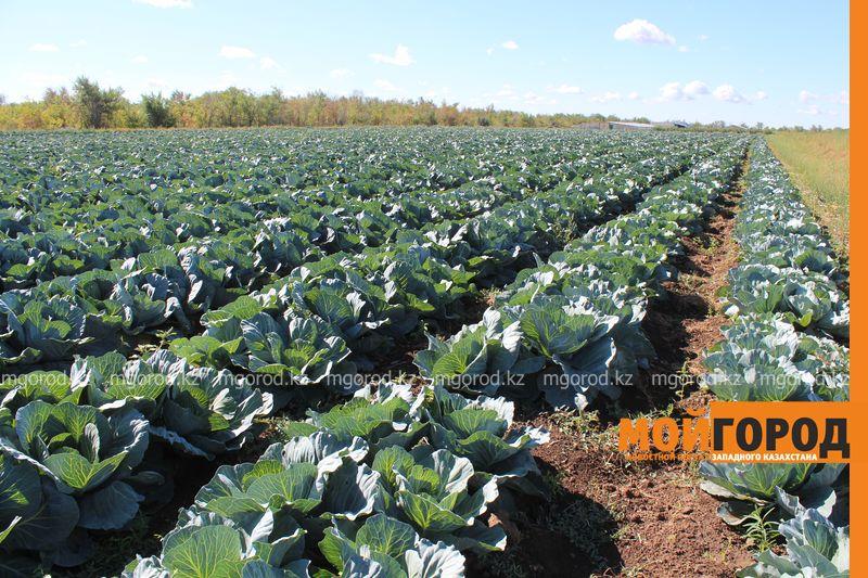 Новости Уральск - Как вырастить огурец в ноябре и почему сокращают картофельные поля klad (4)