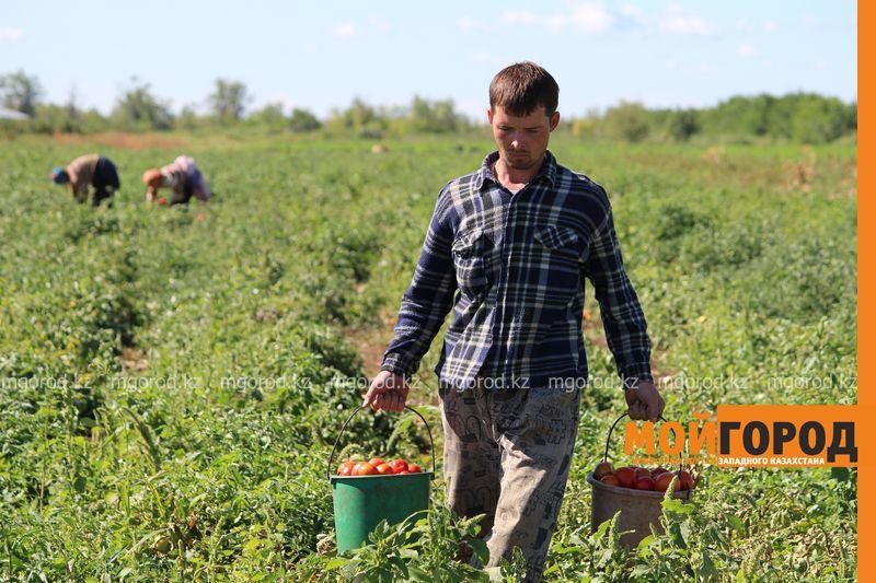 Новости Уральск - Как вырастить огурец в ноябре и почему сокращают картофельные поля klad (5)