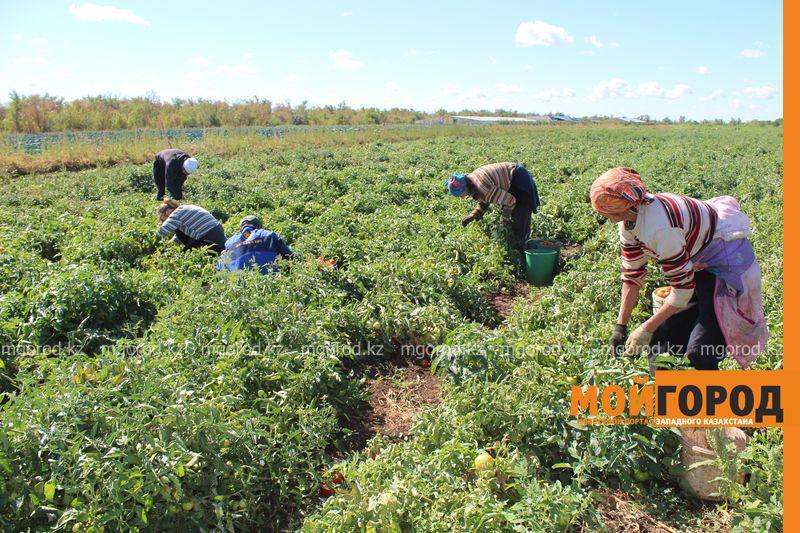 Новости Уральск - Как вырастить огурец в ноябре и почему сокращают картофельные поля klad (6)