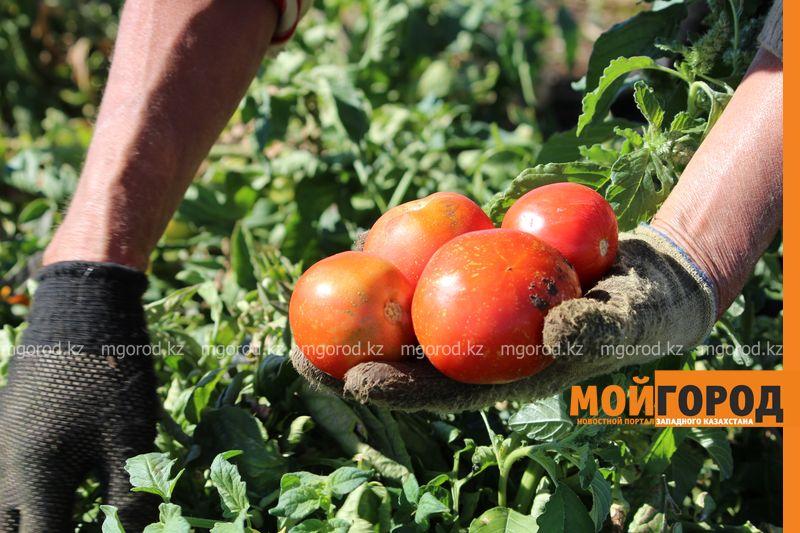 Новости Уральск - Как вырастить огурец в ноябре и почему сокращают картофельные поля klad (9)