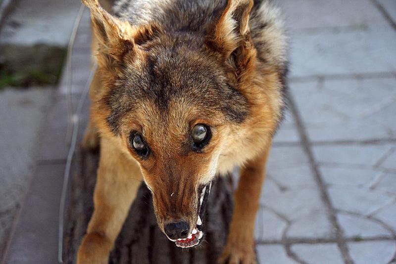 Новости - В ЗКО бешеная собака укусила мальчика Иллюстративное фото с сайта animalregister.net