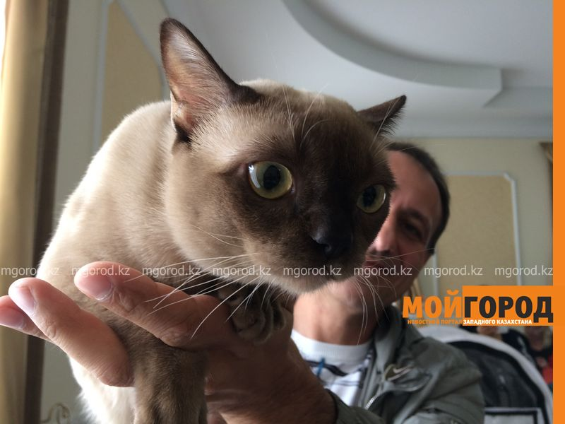 Новости Уральск - Бурманских кошек впервые привезли на выставку в Уральск koshka burma