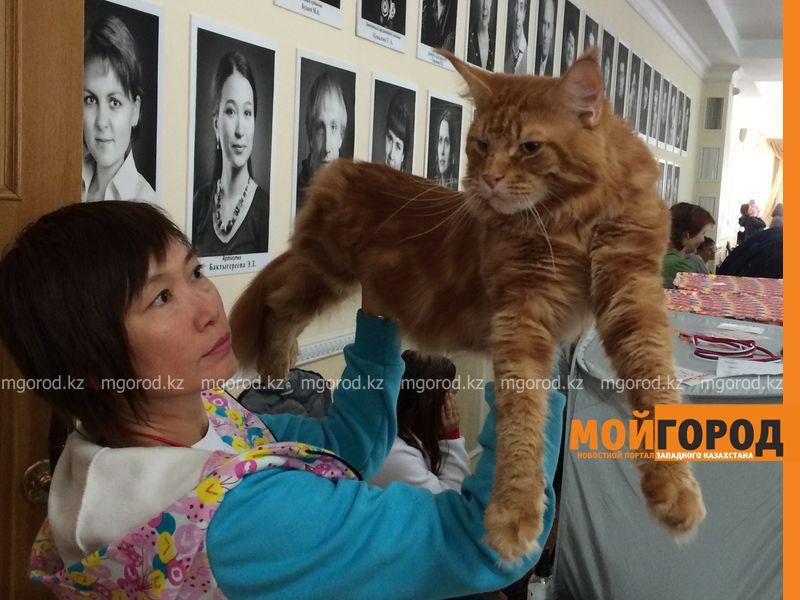 Новости Уральск - Бурманских кошек впервые привезли на выставку в Уральск koshka meinkun (2)