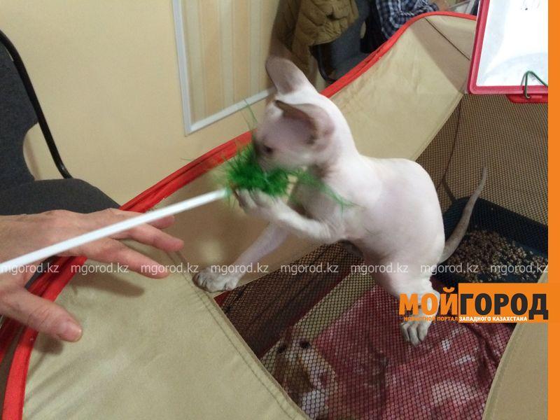 Новости Уральск - Бурманских кошек впервые привезли на выставку в Уральск koshki (12)